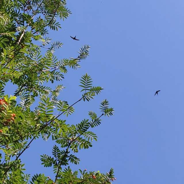 Cielo azul intenso golondrinas