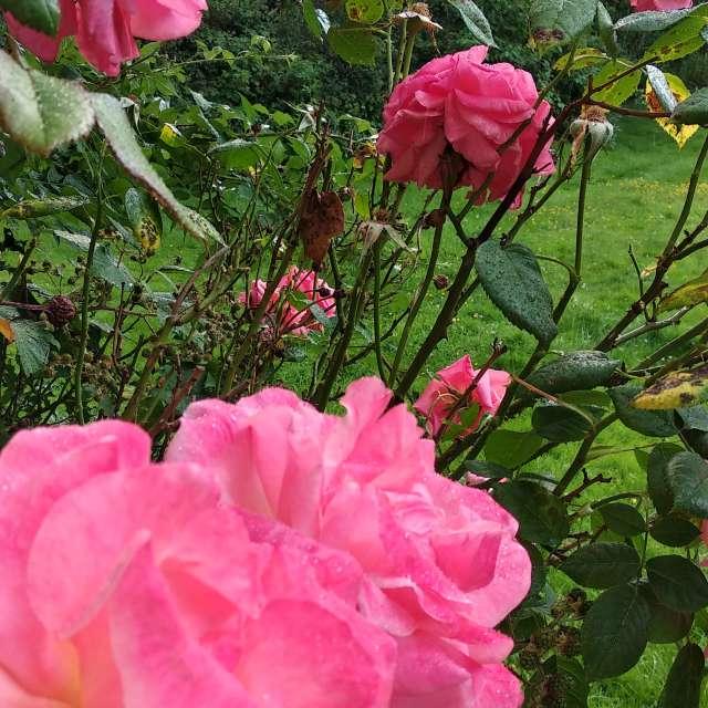 Rain on roses