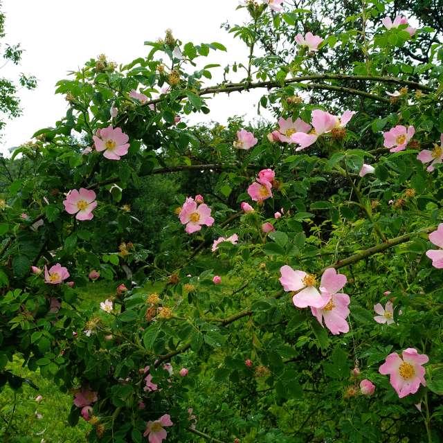 Dog rose, hip-rose in the rain