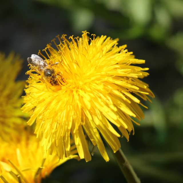 Bee, flower, Yellow