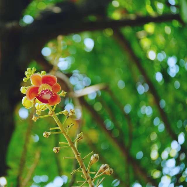 couroupita guianensis bloomed