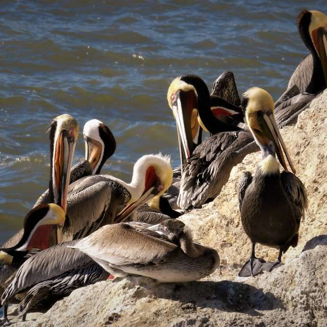 Pelicans On The Edge