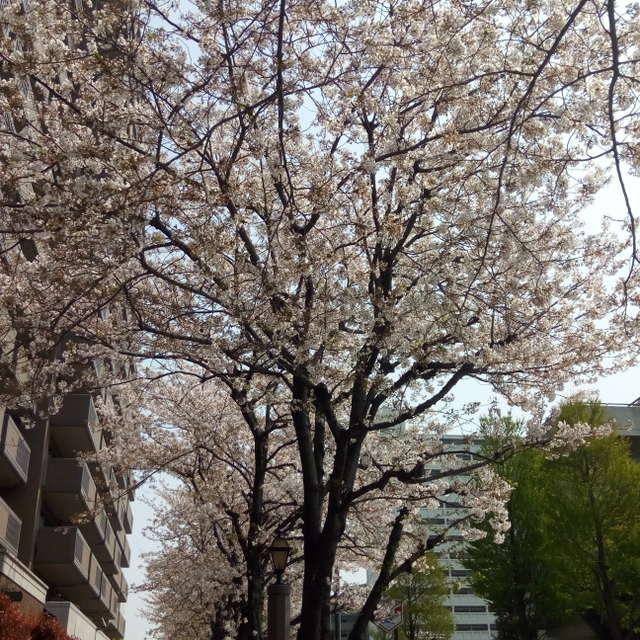 横浜市西区の桜の木です