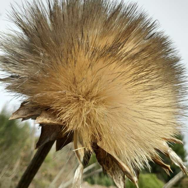 Vieja flor de Alcachofa