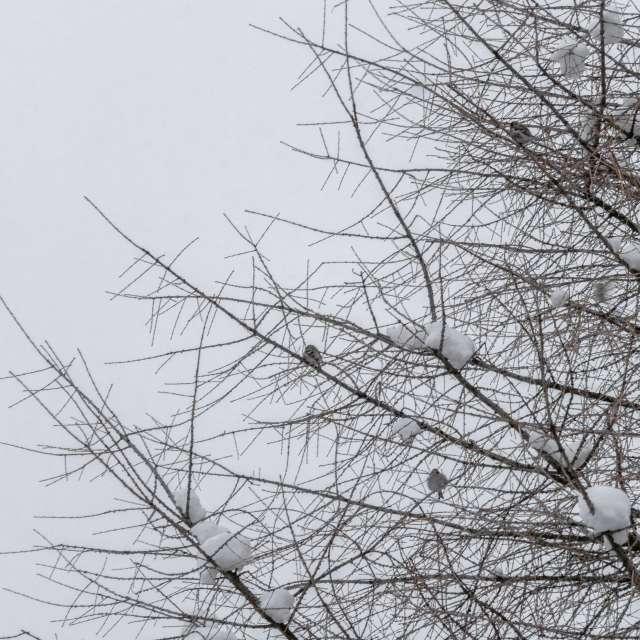 Зима. Птицы снегири на дереве