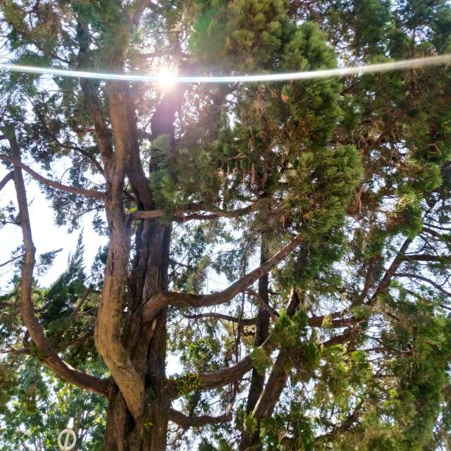 樹裡的太陽