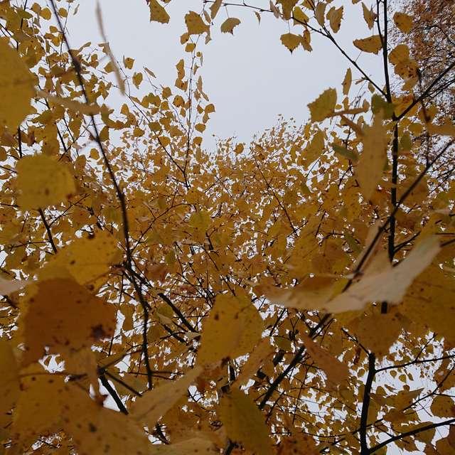 Koivu - Betula - Birch