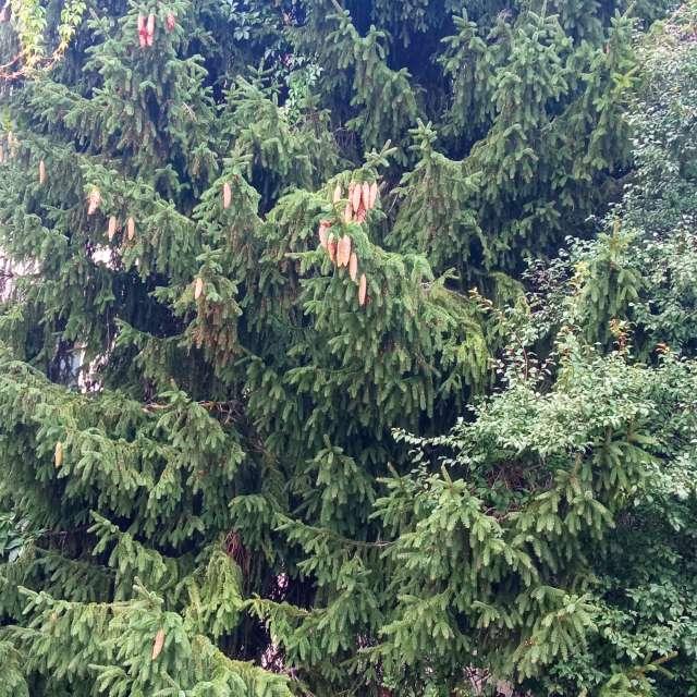 Mezciems елка с шишками