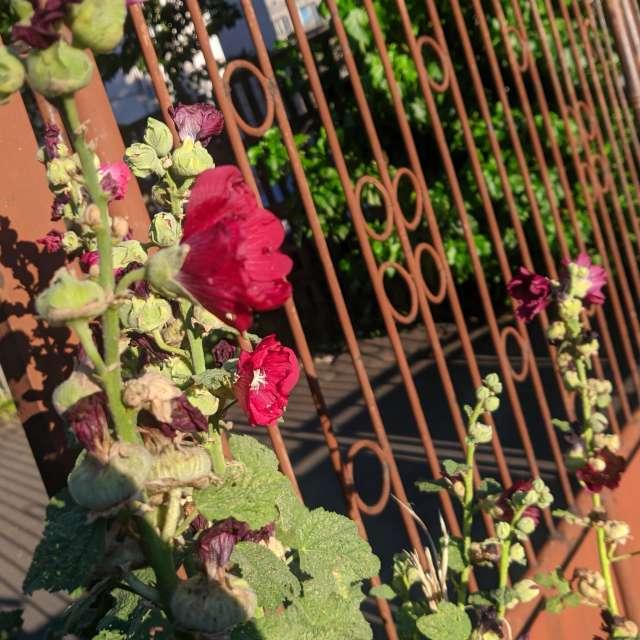 Flowers through a rusty fence
