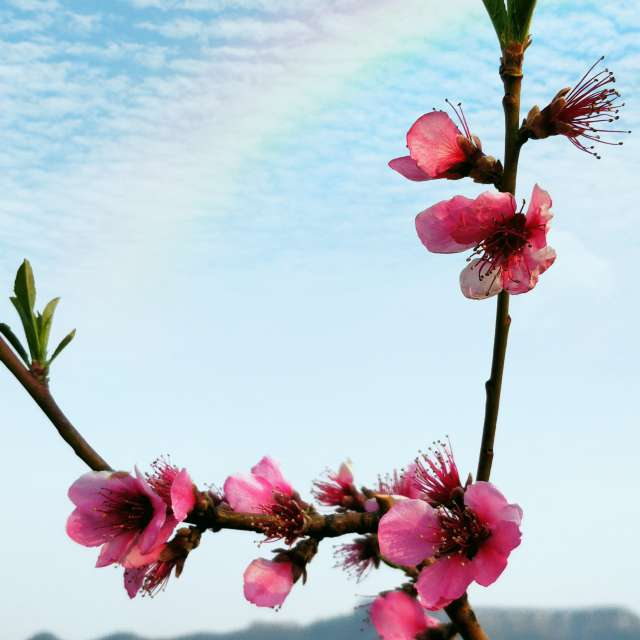 彩虹吸引了桃花