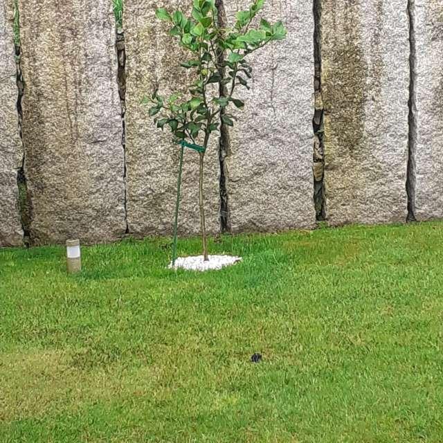 Jardín y Limonero joven