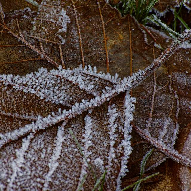 Ice Encrusted Leaves, BC, CA