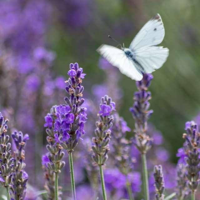 White butterfly lavender field