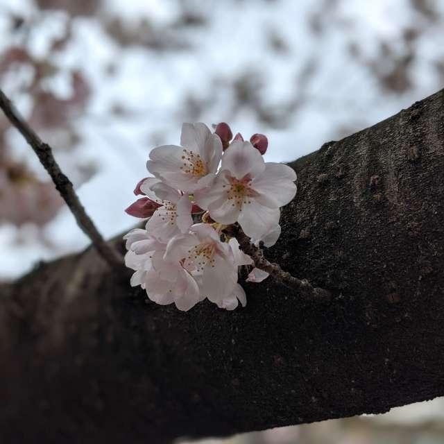 春 桜 開花