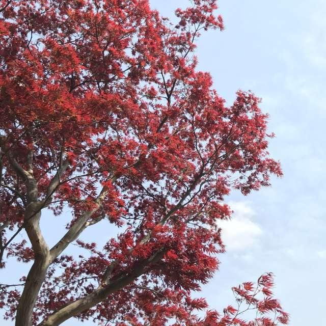 春の赤いもみじ🍁