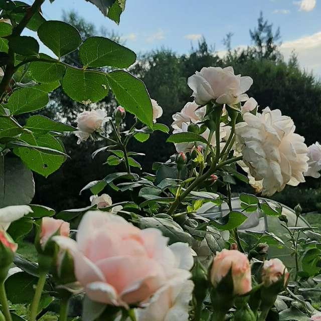 My roses Pretty roses