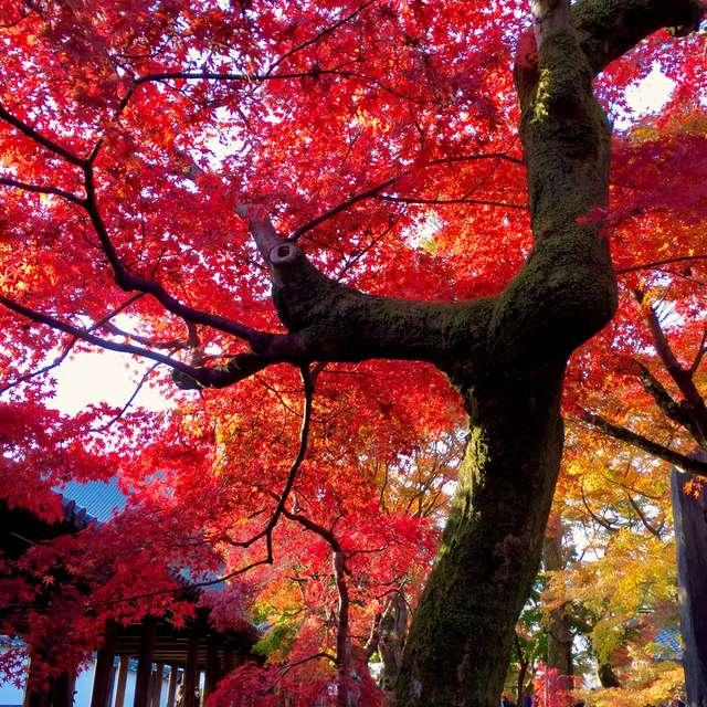 優美な茜色の紅葉