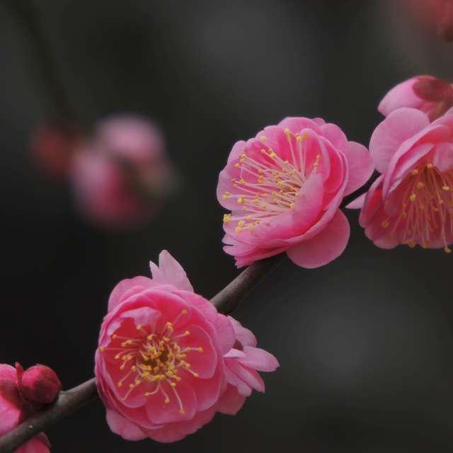 ★梅花★Japan