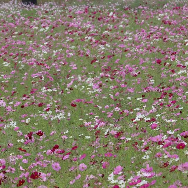 秋桜の咲く頃