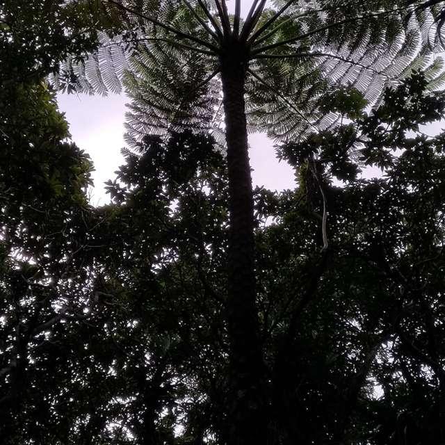 A big fern plant/Ogasawara