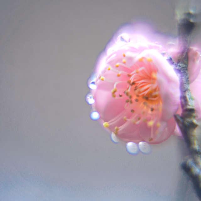 水滴をまとう梅の花