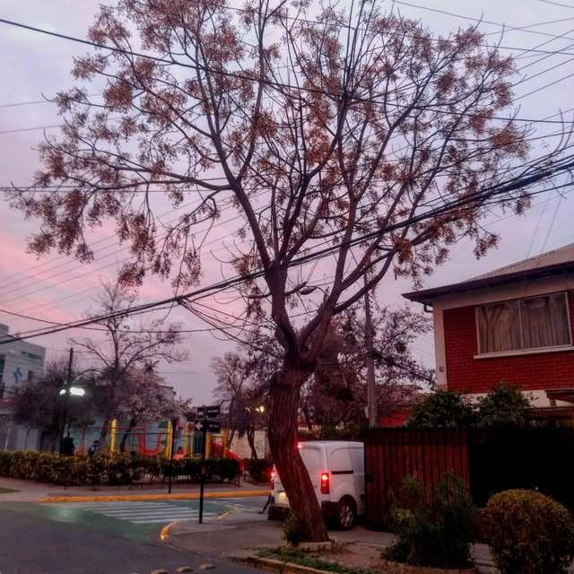 Bellavista Tree