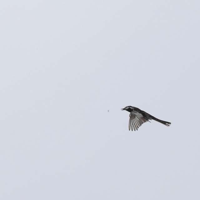 ハクセキレイの飛翔