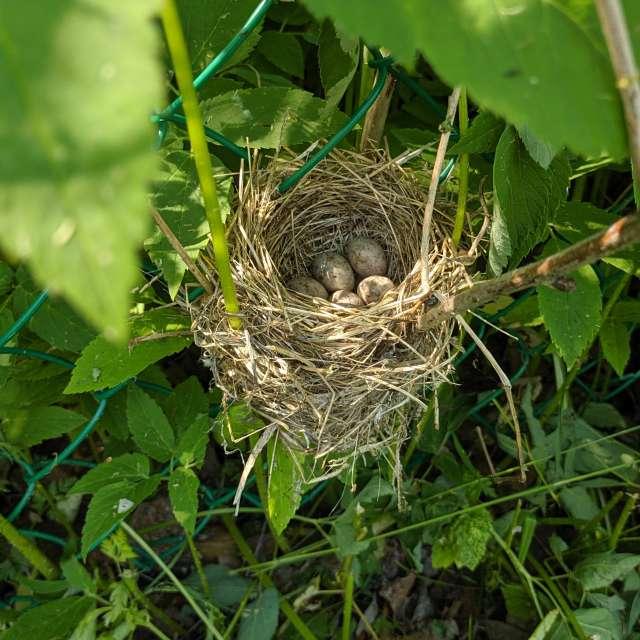 Гнездо в траве