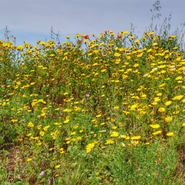 Fleurs des prés