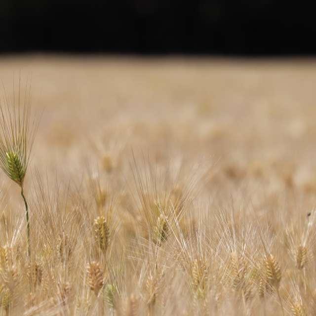 麦畑穫り入れ間近