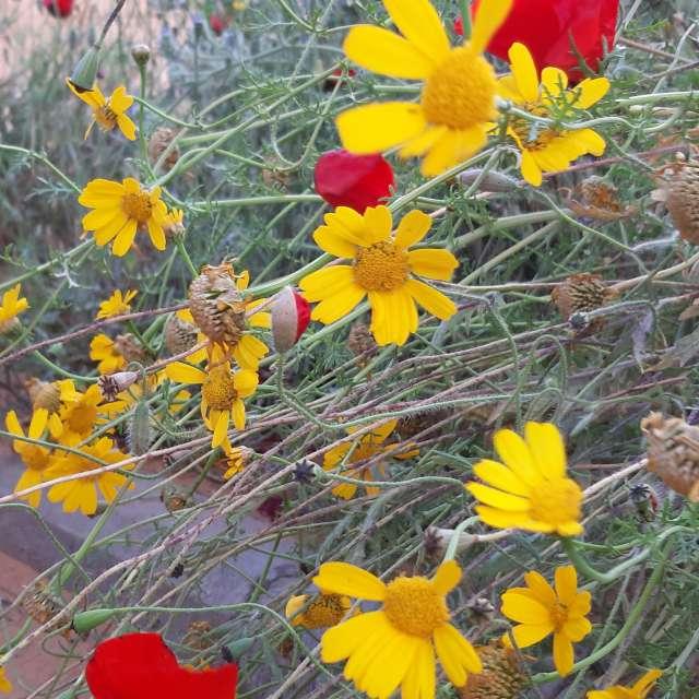 желтые ромашки и алые маки
