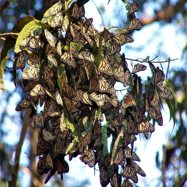 Monarch Butterflies Pismo