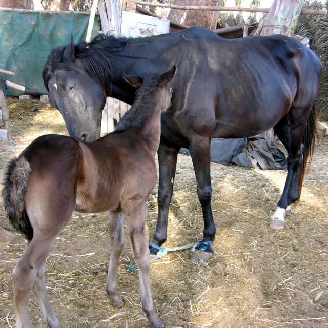 Mare with a foal in Morocco