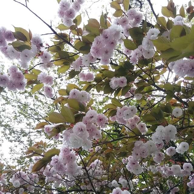 山桜〜五月の頃〜
