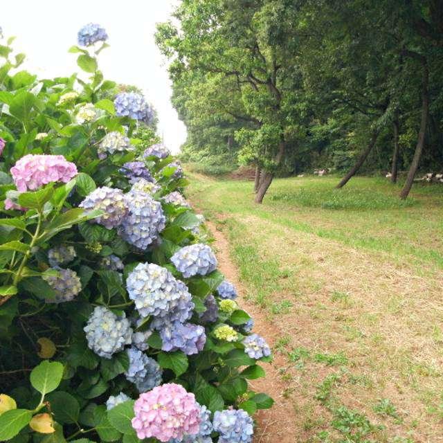 東京都立八国山緑地の「ひだまり広場」付近に咲くアジサイ