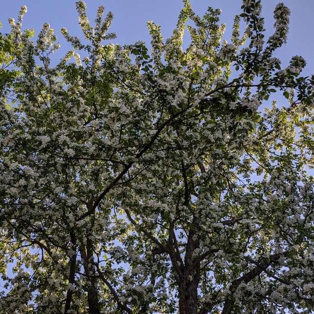 Цвет яблони в мае