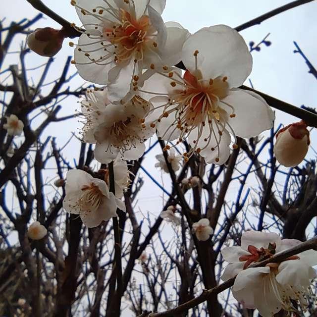 Plum blossoms in Nagasaki