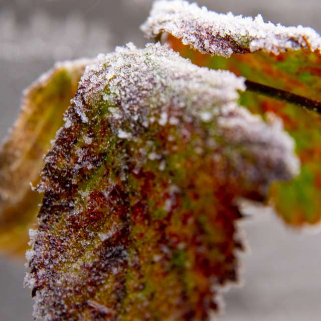 zimne listki,leaves