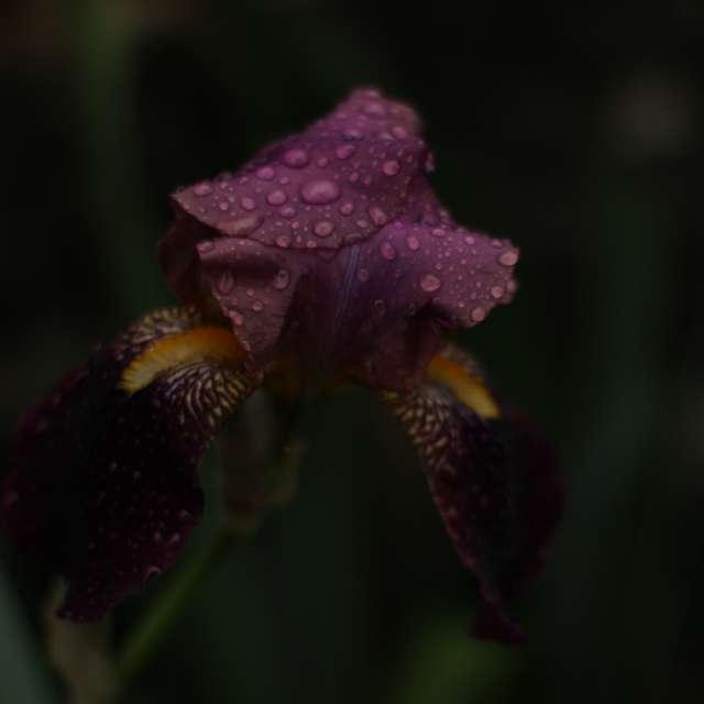Purple Iris barbata after rain