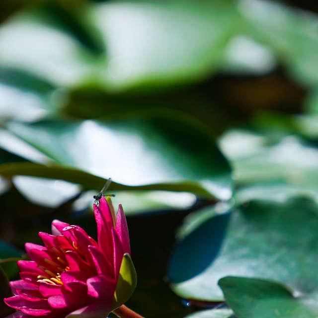 トンボと蓮の花