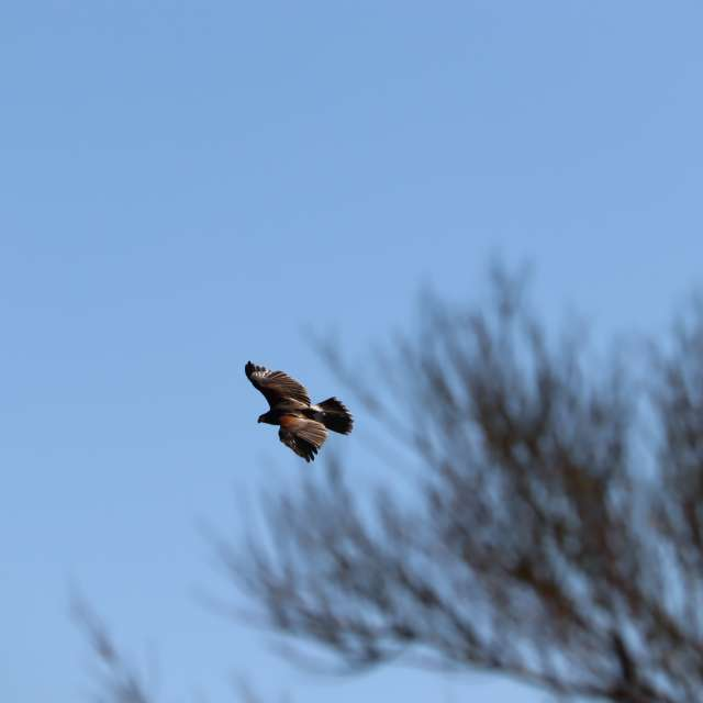 Harris Hawk flight
