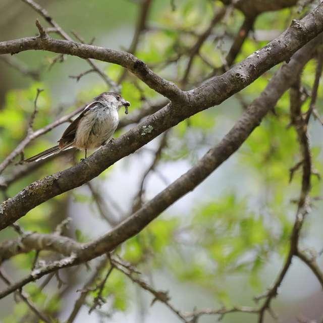 木の上で食事をするエナガ