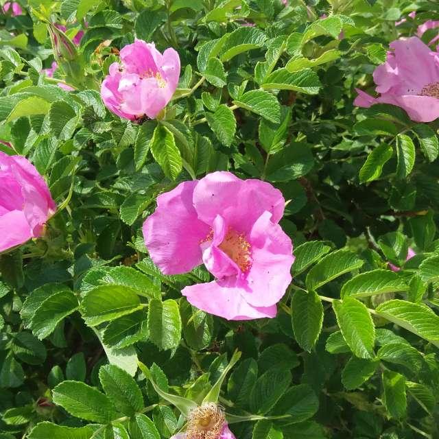 Розовый шиповник