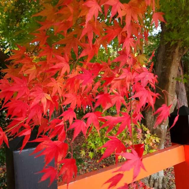 上賀茂さんの紅葉
