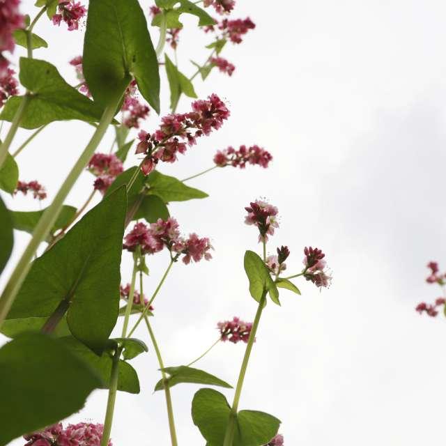 ぴンクの蕎麦の花