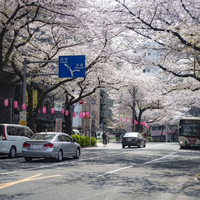 cherry-blossom in full bloom