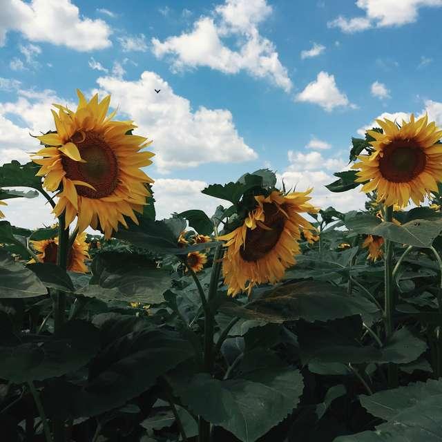 Happy sunflowers...