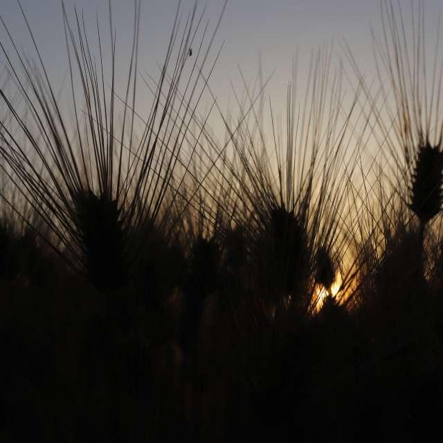麦畑の日の出