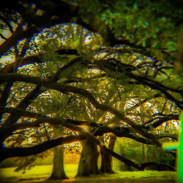 Mystery of the Oak