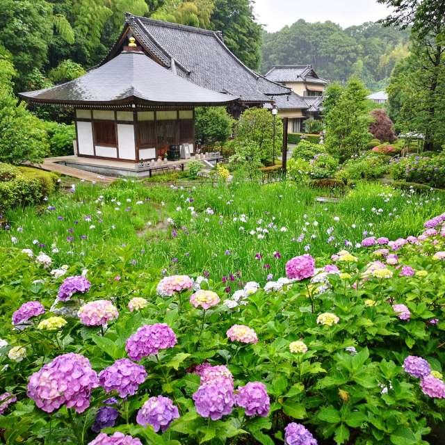 正覚寺では紫陽花と花菖蒲を一度に楽しむことが出来ます。